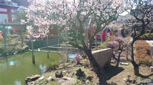 亀戸天神社 境内風景 (2)
