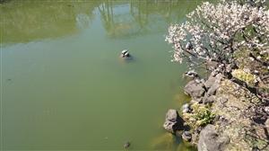 亀戸天神社 境内風景 (1)