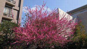 桜神宮 屋外神事斎場の梅