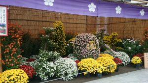 湯島天満宮の菊まつり (3)