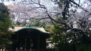 御田八幡神社 拝殿と桜 (2)