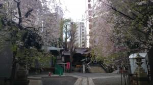 池尻稲荷神社 旧道側からの桜