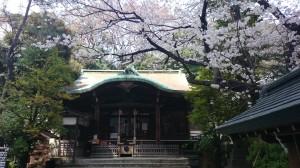 御田八幡神社 拝殿と桜 (1)