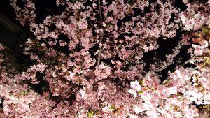 桜神宮 河津桜 (4)