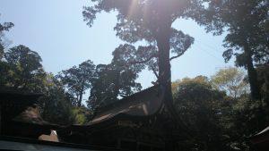 鹿島神宮 社殿 神木