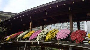 湯島天満宮の菊まつり (1)