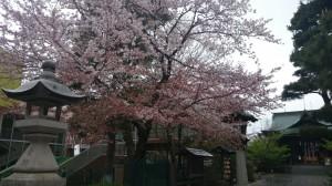 桜神宮 境内の桜