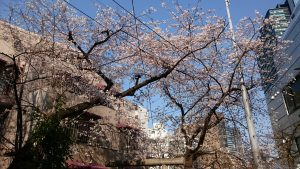 上目黒氷川神社 裏参道の桜
