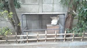 本郷櫻木神社 鶏