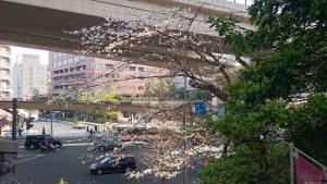 上目黒氷川神社 表参道の桜