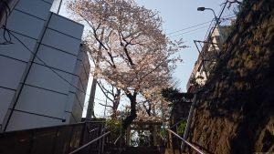 上目黒氷川神社 裏参道石段の桜.JPG