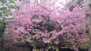 元三島神社の河津桜