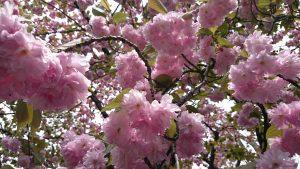 七社神社の桜 福禄寿