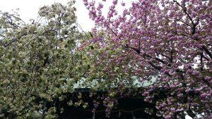 七社神社の桜 (1)