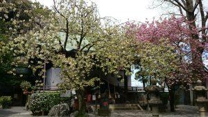 七社神社の桜 (3)