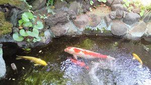 上神明天祖神社 弁天池の錦鯉