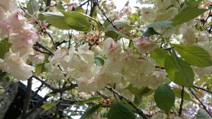 七社神社の桜 御衣黄