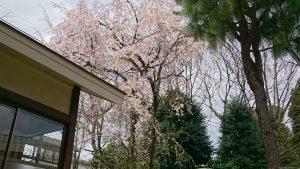 品川貴船神社 枝垂桜