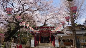 居木神社拝殿正面の桜