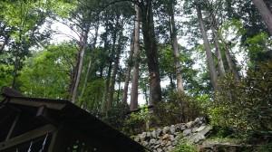 三峯神社 えんむすびの木 (1)