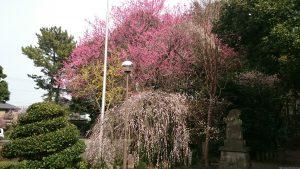 喜多見氷川神社 拝殿前梅の木