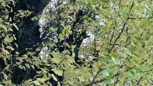 飛木稲荷神社 イチョウの中のお狐さま