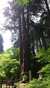 御岩神社 三本杉 (1)