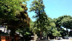 駒込富士神社 御神木