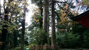 箱根神社 矢立杉