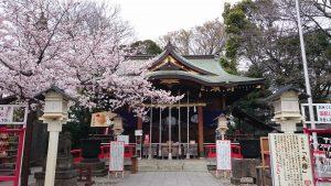 鎮守氷川神社 満開の桜 (2)