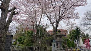 鎮守氷川神社 満開の桜 (1)