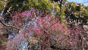 谷保天満宮 梅まつり 境内の梅 (2)