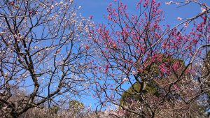 谷保天満宮 梅まつり 境内の梅 (1)