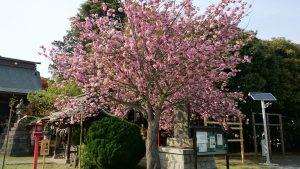 吉田神社 八重桜