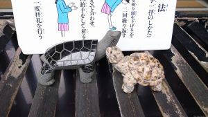 亀有香取神社 賽銭箱の亀