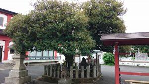 多摩川諏訪神社 御神木