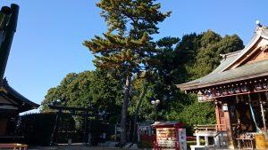 沼袋氷川神社 三本願い松 境内社側
