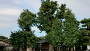 赤塚諏訪神社 御神木の夫婦イチョウ