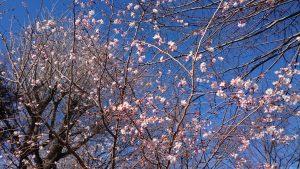 千住神社 寒桜