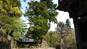 筑波山神社 大杉